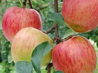 リンゴ(須玉町)